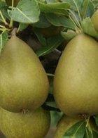 Gorham dwarf pear tree