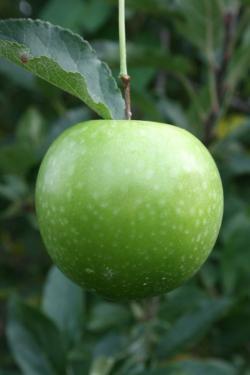 Granny Smith cordon apple