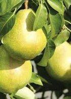 Invincible dwarf pear tree