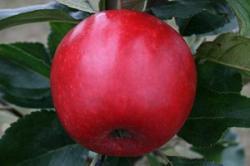 Katy cordon apple