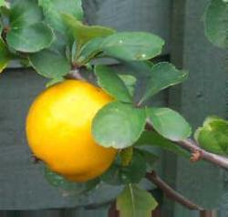 Lemon Pippin apple tree
