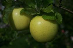Limelight cordon apple tree
