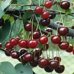 Morello cherry dwarf Gisele