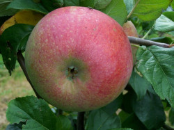 Peasgood Nonsuch apple tree