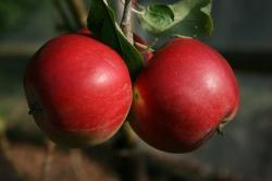 Red Devil cordon apple tree