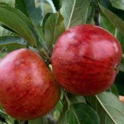 Red Ellison cordon tree