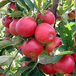 Red Falstaff cordon tree