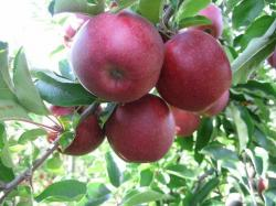 Red Jonaprince apple trees