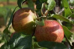Rubinette apple tree