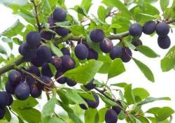 Shropshire Damson trees