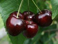 Summer Sun cherry tree