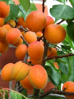 Tros Orange apricot trees