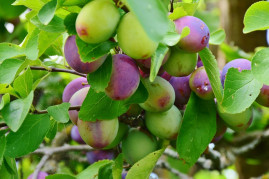 How to Plant and Grow a Victoria Plum Tree