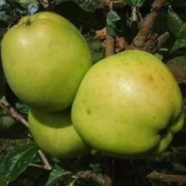 Apple trees - cooking varieties