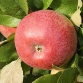 Apples - dual purpose varieties