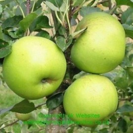 Apples green-yellow fruited