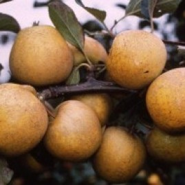 Apples-mid season