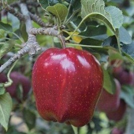 Apple Trees - red fruited