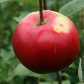Apples - self fertile