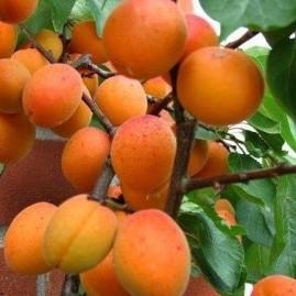 Apricots Fan Trained