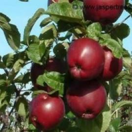 Cordon Apple Trees
