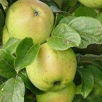 Particularly frost resistant apple varieties