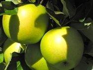 Miniature Apple Trees