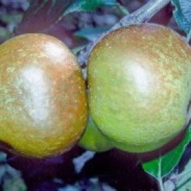 Russet Apple trees