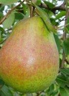 Self fertile Pear Trees