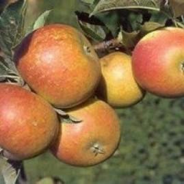 Stepover Apple Trees