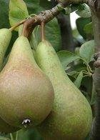 Stepover Pear Trees
